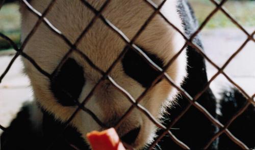 LingLing-Panda